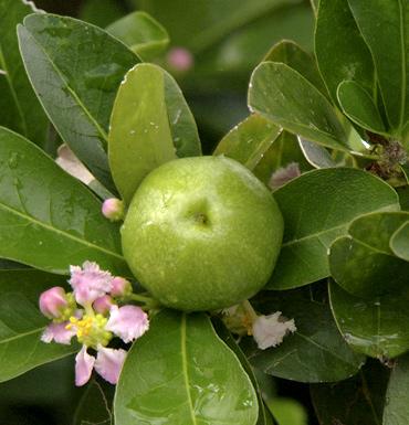 原产於热带美洲西印度群岛加勒比海地区,故又有西印度樱桃之称.